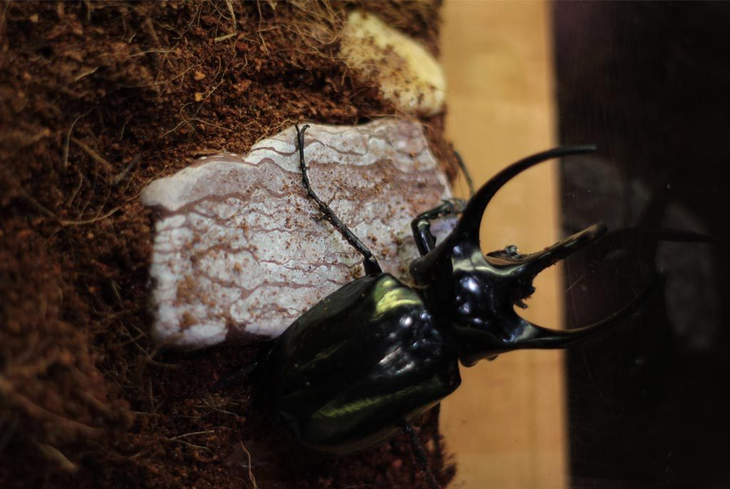 horned-beetle