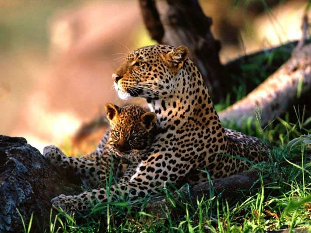 leopard_cubs_wallpaper_3-1024x768