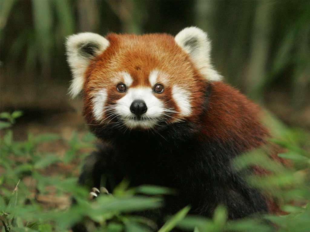 image courtesy ofhttp://paradoxoff.com/files/2015/06/Red-Panda-6.jpg