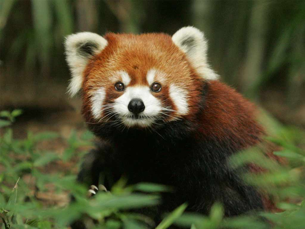 image courtesy of http://paradoxoff.com/files/2015/06/Red-Panda-6.jpg