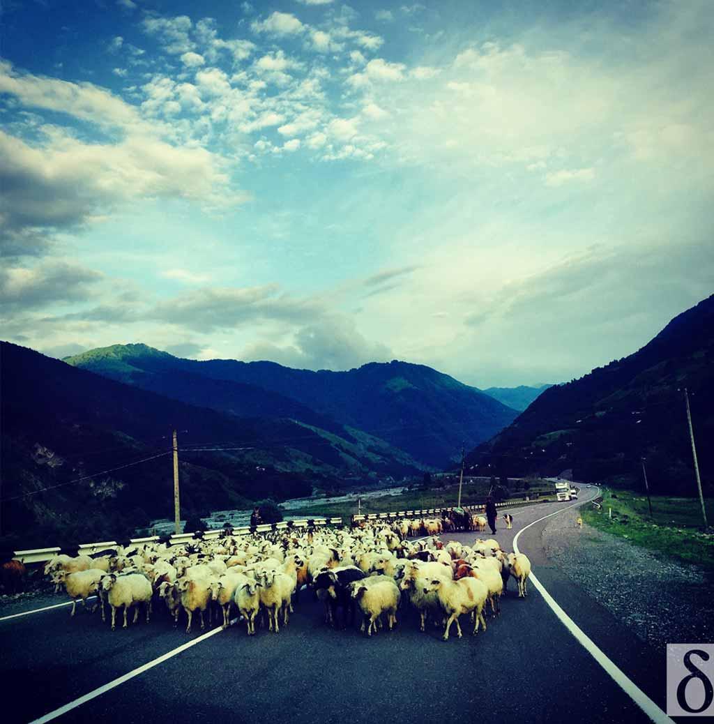 georgia-goats